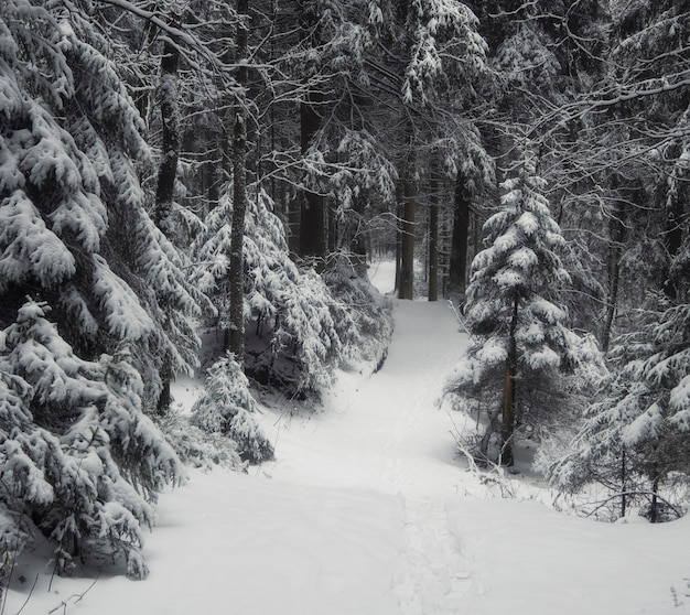 Empty path in winter dark scary forest after snowfall