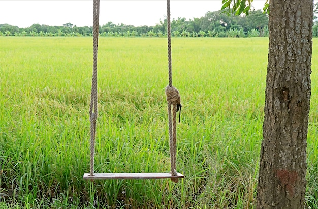Empty wooden swing with ripening paddy fields in the backdrop