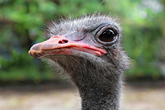 Emu close up