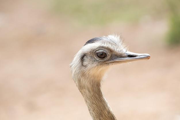 Эму - это вид наземных птиц, эндемичных для австралии.