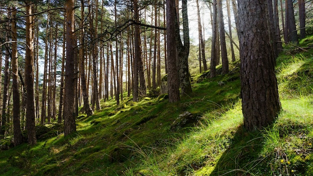 Enchanted forest with green grass and sunlight streaming through the tall trees