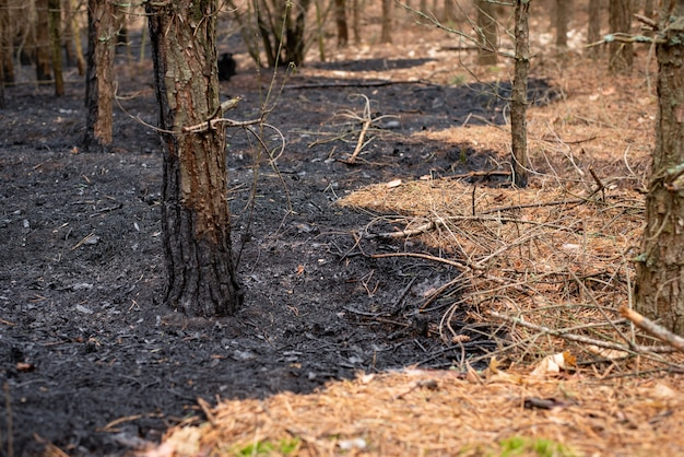 End of the burnt forest after the forest fire