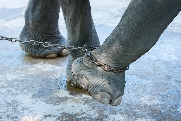 The end of the elephant's freedom.