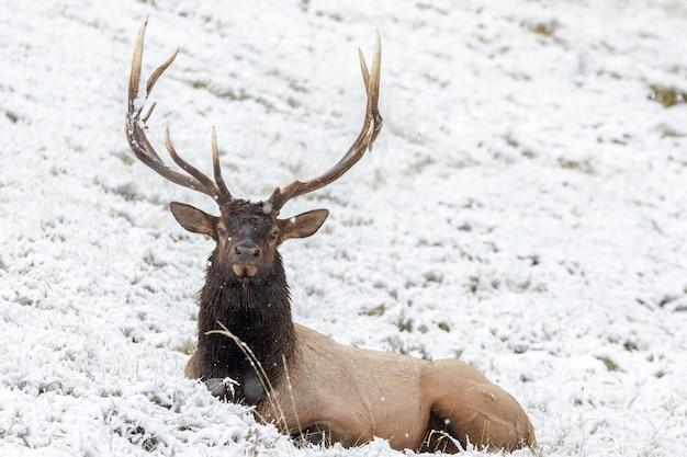 Endearing wapiti deer in a snowy field