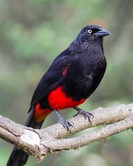 Endemic bird of colombia on a branch