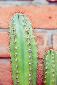 Endemic cactus from argentina, bolivia and paraguay, close-up of a cereus sp. bluish-green color with hard and short spines arranged on the stem ribs.