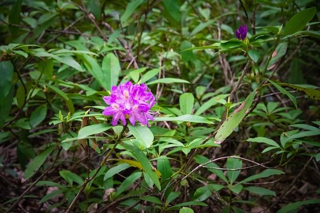 Эндемичный цветок rhododendron ponticum в горах странджа, болгария, называется зеленика.