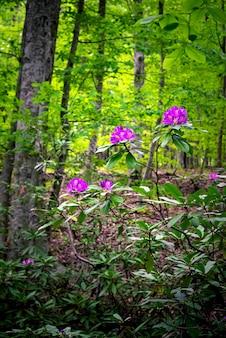 Endemic flower rhododendron ponticum in strandja mountain, bulgaria called zelenika.