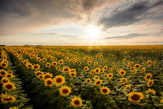 Endless field of blooming sunflowers in countryside in the evening landscape
