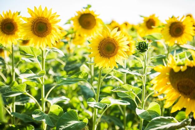 Бесконечное поле с подсолнухами - летний солнечный день