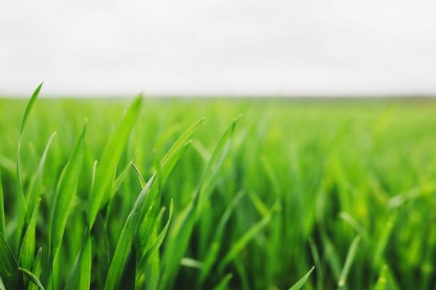 Бесконечные зеленые поля фермы, где весной растут пшеница и кукуруза. фото высокого качества