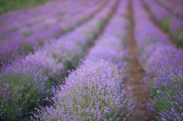 보라색 꽃이 만발한 라벤더 밭의 끝없는 패치