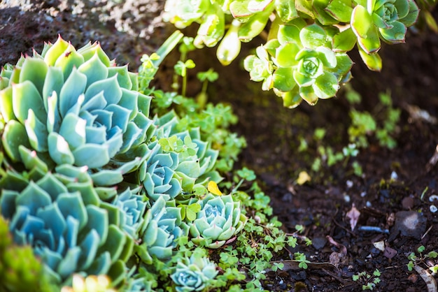 Energetic and succulent plant