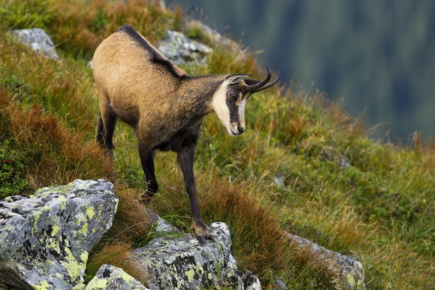 Energetic tatra chamois descending down the slope with rock and green grass.