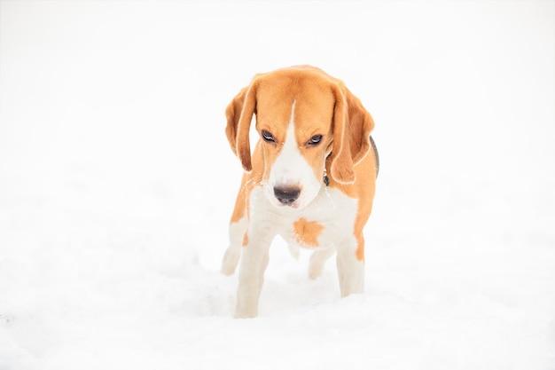 英語のビーグル犬の子犬、犬は額の下から見て、白い雪の背景に立ってカメラをのぞきます