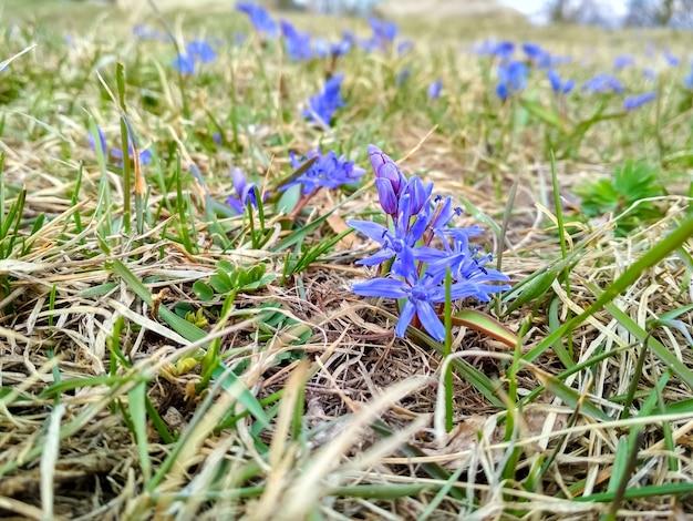 초원 봄 시간에 영어 블루 벨 카펫