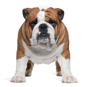 English bulldog, 2 years old, standing in front of white wall