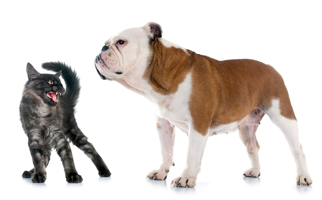 English bulldog and angry cat
