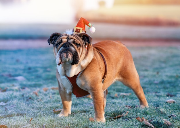 English bulldog in christmas hat standing on the green grass in winter