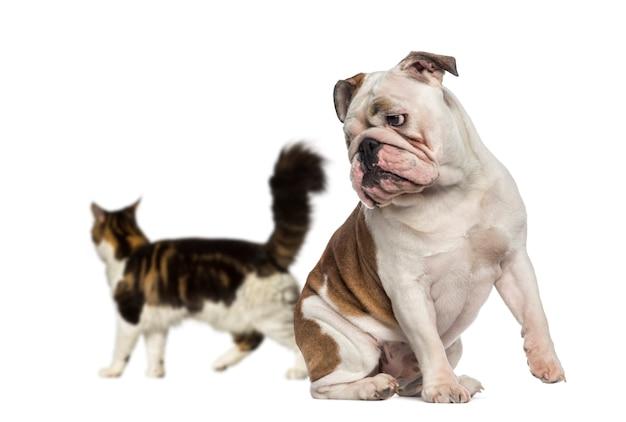 Английский бульдог, глядя на кошку, идущую