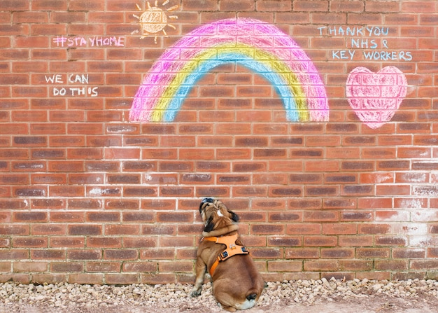 English bulldog reading #stayhome and looking at the drawings of rainbow in honor of the nhs