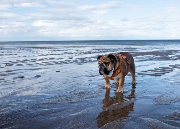 Английские бульдоги гуляют по берегу моря против голубого неба
