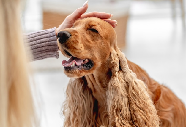 自宅で女性の手のひらを楽しんでいるイングリッシュコッカースパニエル犬