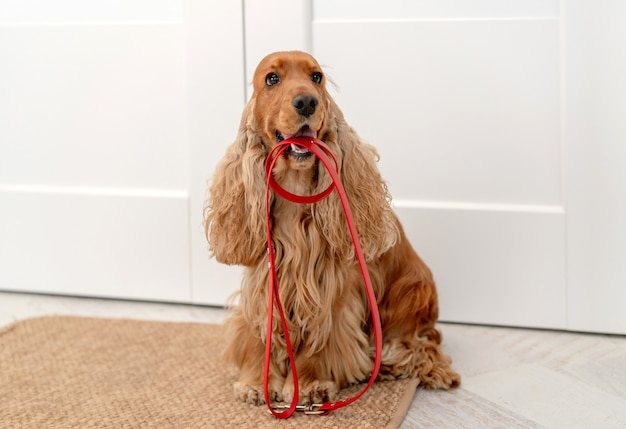 English cocker spaniel dog holding red leash and waiting for walk