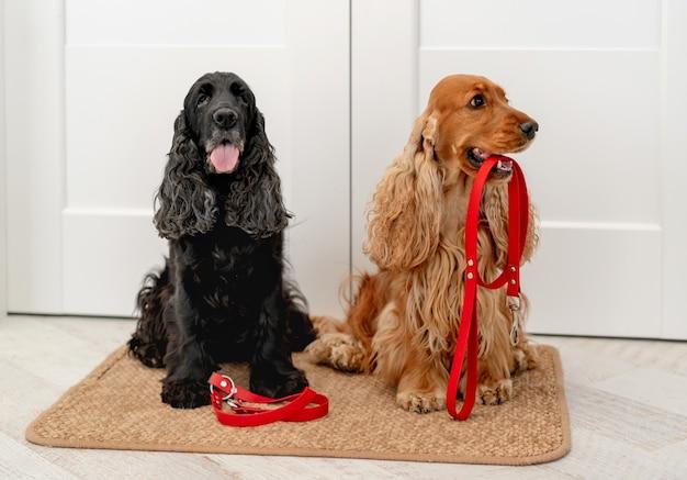 빨간 가죽 끈이 달린 영어 코커 스패니얼 개는 집에서 문 매트에 앉아있는 동안 산책을 기다리고 있습니다.