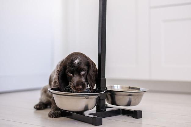Щенок английского кокер-спаниеля ест собачий корм и пить воду из керамической миски.