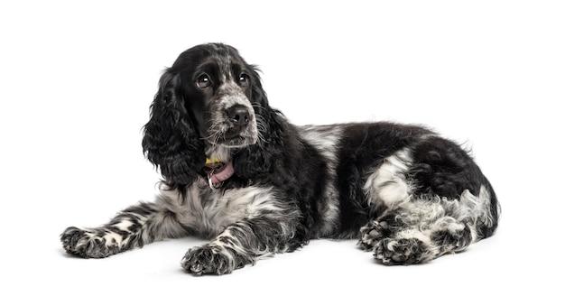 白い壁の前にイングリッシュ・コッカー・スパニエルの子犬