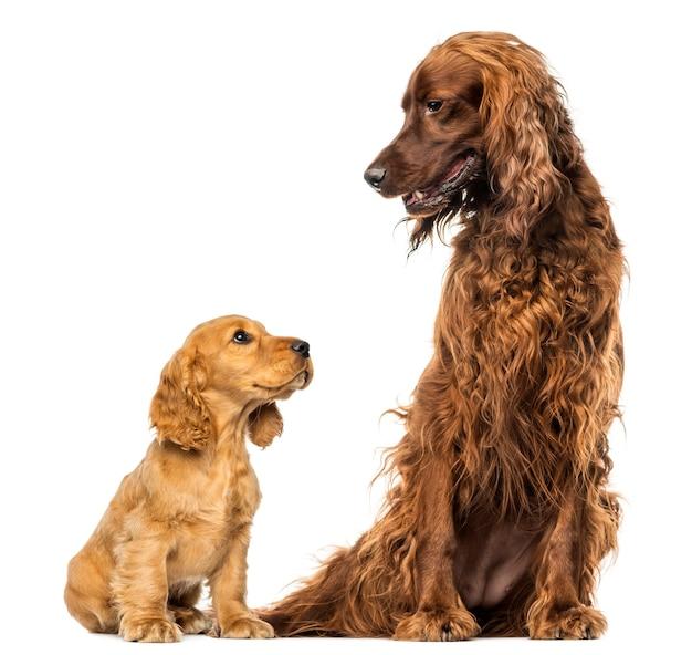 아일랜드 사냥개를 바라 보는 영어 코커 스패니얼 강아지