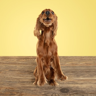 English cocker spaniel young dog is posing. cute playful brown doggy or pet playing on wooden floor isolated on yellow wall. concept of motion, action, movement, pets love. looks happy.