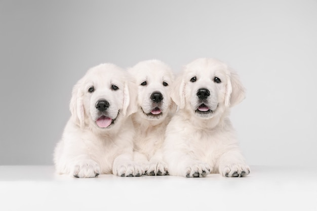 English cream golden retrievers isolated on white  wall