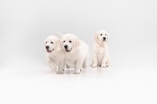 영어 크림 골든 리트리버 포즈. 귀여운 장난기 많은 강아지 또는 순종 애완 동물은 흰색 배경에 고립 된 장난스럽고 귀엽습니다.