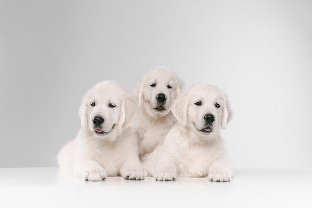 イングリッシュクリームゴールデンレトリバーのポーズ。かわいい遊び心のある犬や純血種のペットは、白い背景に孤立した遊び心のあるかわいいように見えます。