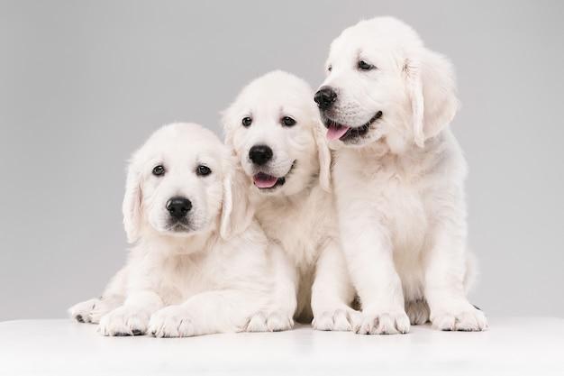 Английский кремовый золотистый ретривер позирует. симпатичные игривые собачки или породистые питомцы выглядят игриво и мило изолированно на белой стене. понятие движения, действия, движения, любви собак и домашних животных. copyspace.