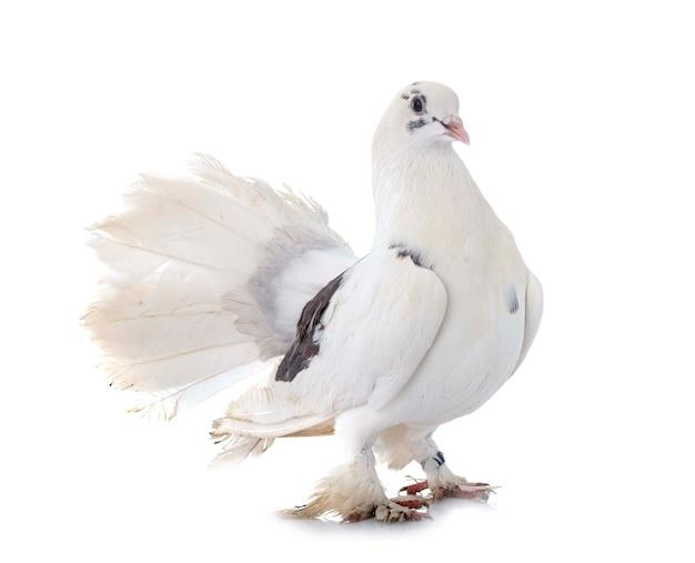 Английский fantail на белом фоне