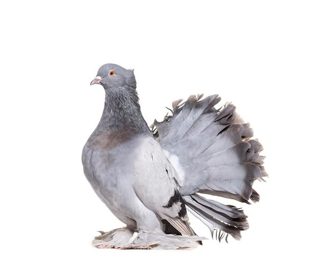 Английский веерохвостый голубь на белой поверхности