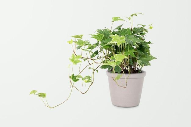 灰色の鍋にイングリッシュアイビー植物