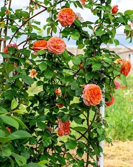English rose bush with large flowers