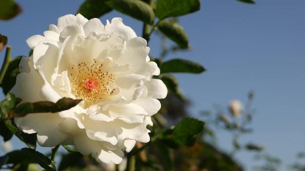 Английская роза в розариевом саду. цветущие цветы. крупный план клумбы розария.