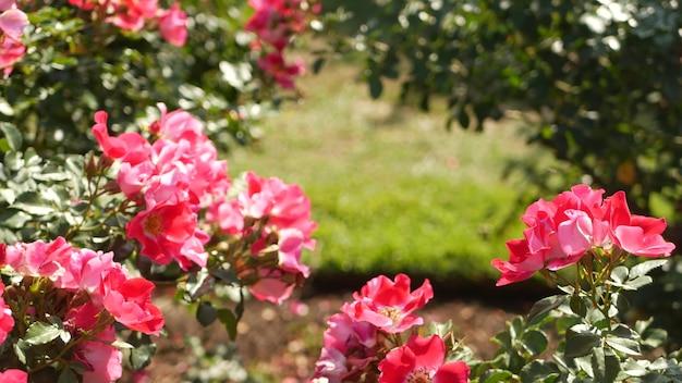 Сад английских роз, цветочный розарий. цветущие цветы. крупный план клумбы четок.