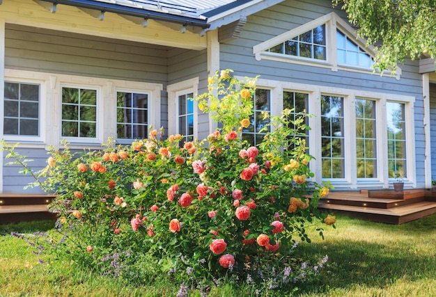 영국 장미 정원, 분홍색, 노란색, 주황색은 시골풍의 스칸디나비아 목조 주택 밖에 있습니다. 라트비아
