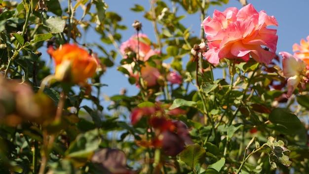 Английские розы в розариевом саду. цветущие цветы. крупный план клумбы розария.