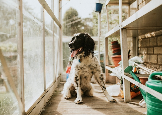 English setter dog in a greenhouse