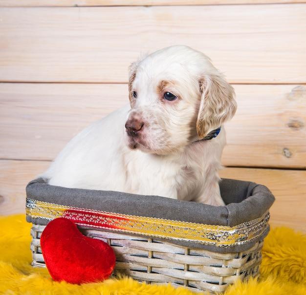 Щенок английского сеттера в деревянной корзине с красной плюшевой игрушкой-сердечком