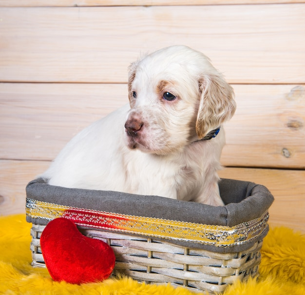 English setter puppy dog in a wood basket with red plush heart toy