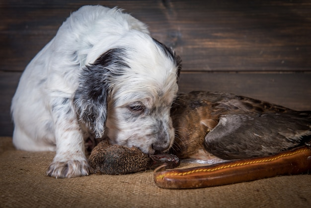 English setter puppy hunting dog next to a hunting knife and a duck