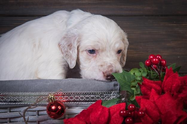 Английский сеттер щенок с красными цветами пуансеттия и елочные шары.